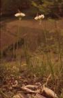 Allium massaessyllum