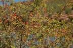 Acerolo (crataegus monogyna)