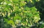 Acer monspessulanus