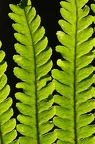 Dryopteris sp