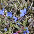 Lithodora fruticosa (L.) Grisb.