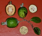 Acca sellowiana (=Feijoa sellowiana)